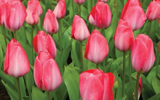 25090_fullimage_Tulips_pink_10038_560x350