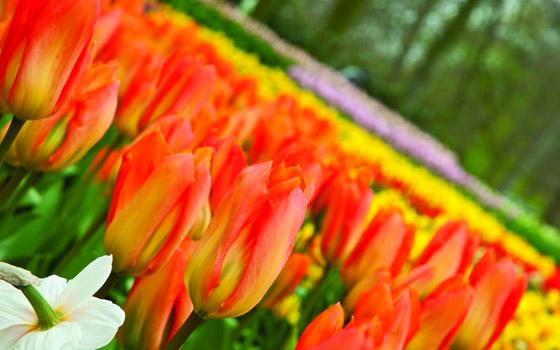 38383_fullimage_tulpen-oranje-schuin